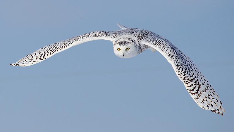 Snowy Owl In Flight 4