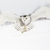 Snowy Owl Hovering 8