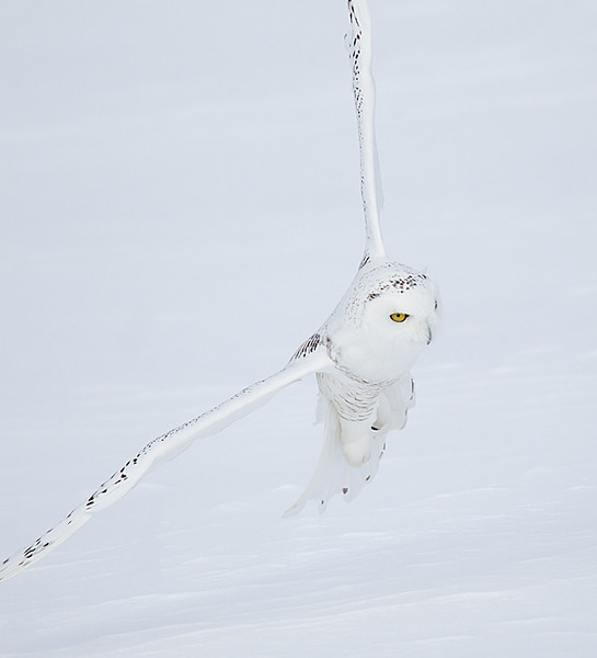 Snowy Owl Young Male Flying over Snow 3