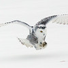 Snowy Owl about to Strike 2