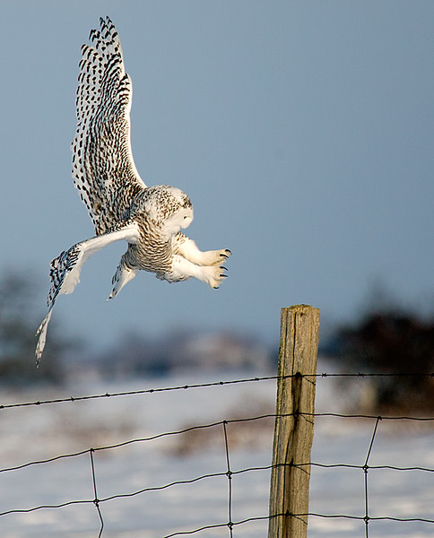 Snowy Owl  About to Land on Fence Post 2