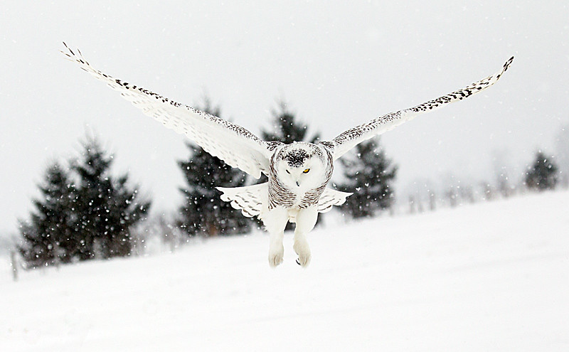 Snowy Owl Hovering Snowing 3