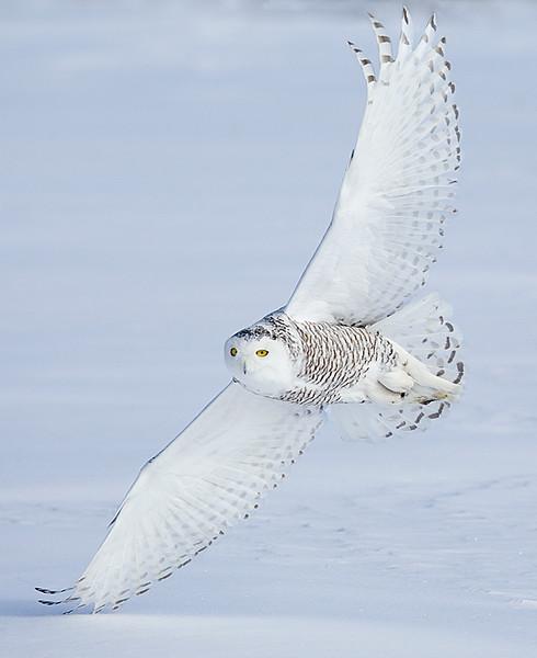 Snowy Owl Flying 3