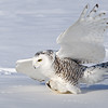 Snowy Owl about to Strike