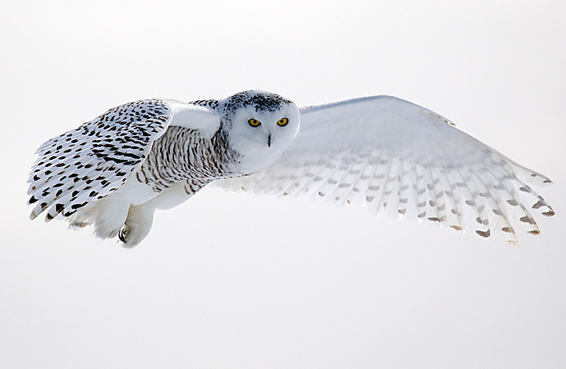Snowy Owl Hovering 2