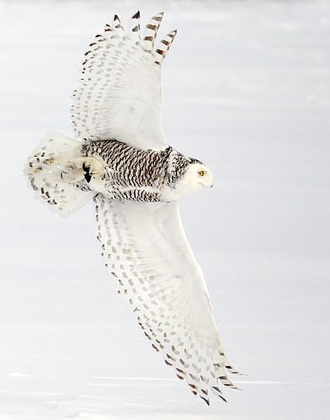 Snowy Owl Flying with Prey 2