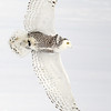 Snowy Owl Flying with Prey 2