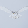 Snowy Owl Hovering 6