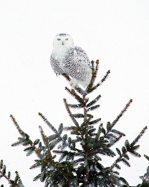 Snowy Owl Perched in Top of Pine Tree