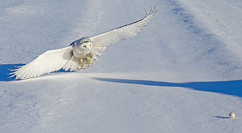 Snowy Owl on a Beeline for Target