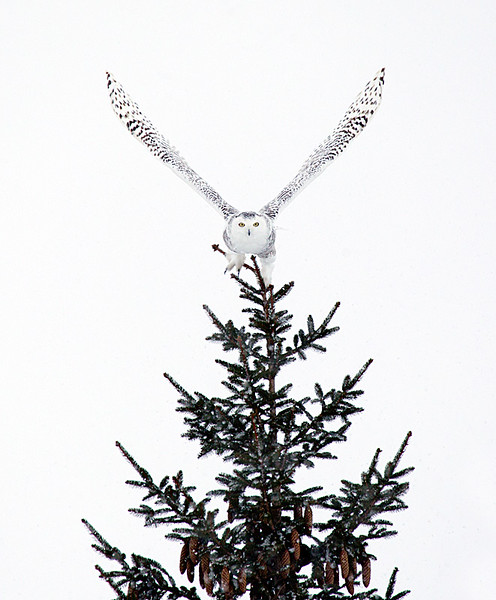 Snowy Owl Taking Off from Top of Pine Tree