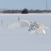 Snowy Owl Hovering 11