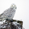 Snowy Owl Perched 2