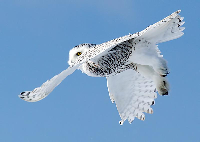 Snowy Owl Flying 8
