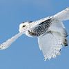 Snowy Owl Flying 8