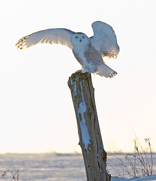 Snowy Owl on Fence Post Holding Mouse