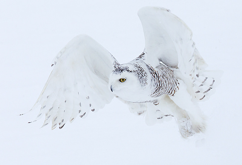 Snowy Owl Close up Flight 2