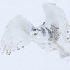 Snowy Owl Close up Flight 2