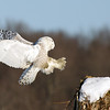 Snowy Owl Coming in for Landing
