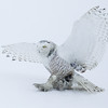 Snowy Owl Landing in Snow