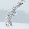Snowy Owl Look Back in Flight