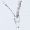 Snowy Owl Wings Up