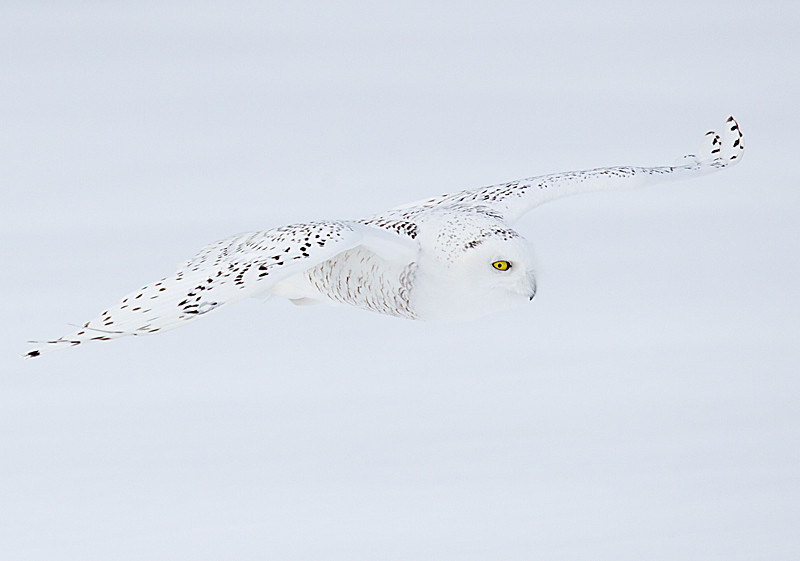 Snowy Owl Young Male Flying over Snow