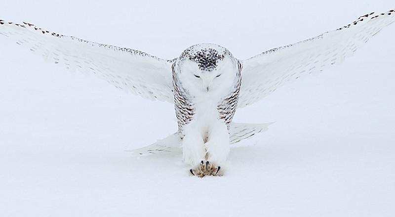 Snowy Owl Striking 2