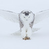 Snowy Owl Striking 2