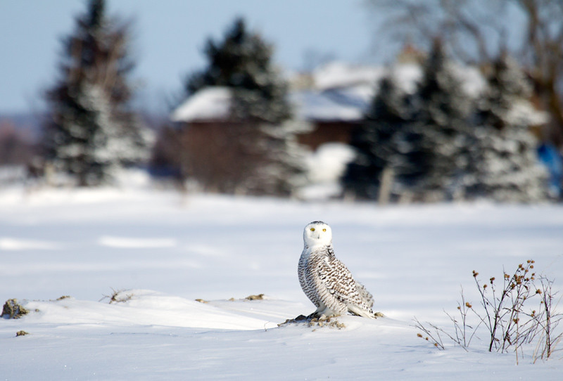 Snowy Owl Perched on Snow Covered Ground