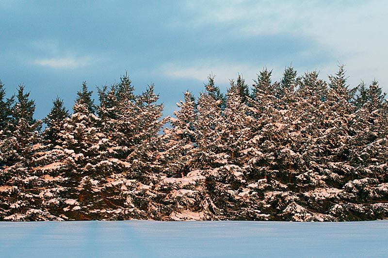 Snow on Pine Trees Sunrise