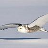 Snowy Owl Cruising Close to the Snow