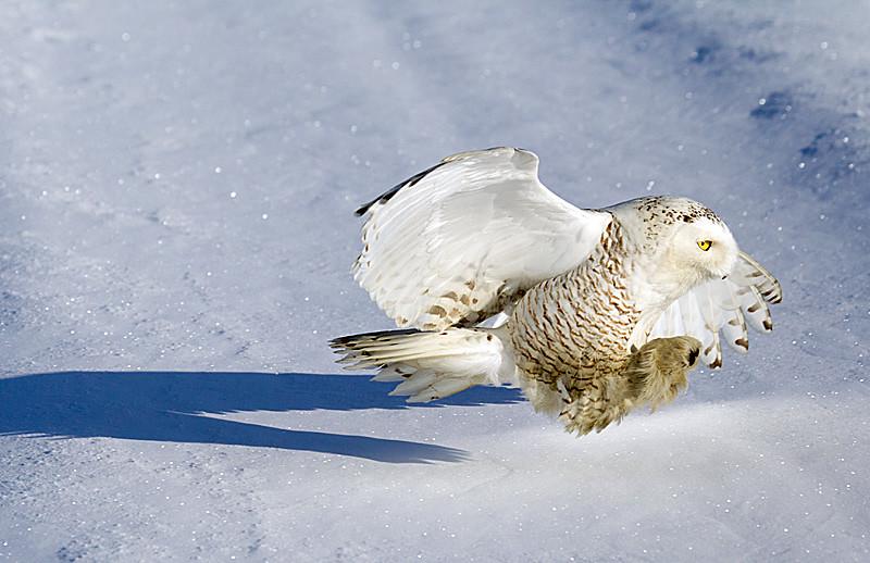 Snowy Owl Heading for Prey