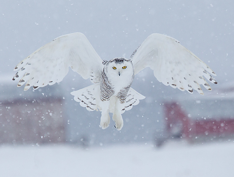 Snowy Owl Hovering Snowing