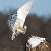 Snowy Owl Landing with Mouse in Talons