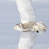 Snowy Owl Flying with Prey