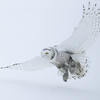 Snowy Owl Flying in Snow 6