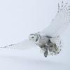 Snowy Owl Flying in Snow 6
