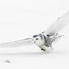 Snowy Owl about to Strike Prey 4