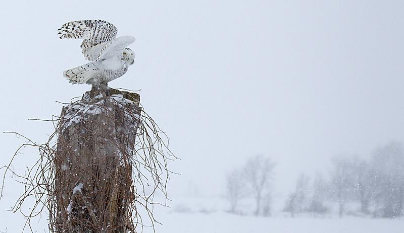 Snowy Owl Perched 4
