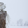 Snowy Owl Perched 4