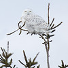 Snowy Owl Young Male Perched on Pine Tree 2