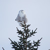 Snowy Owl Perched on Pine Tree
