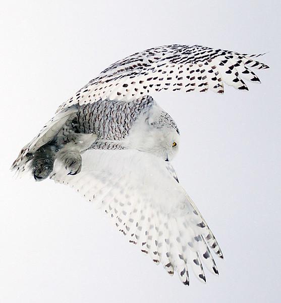 Snowy Owl Hunting 2
