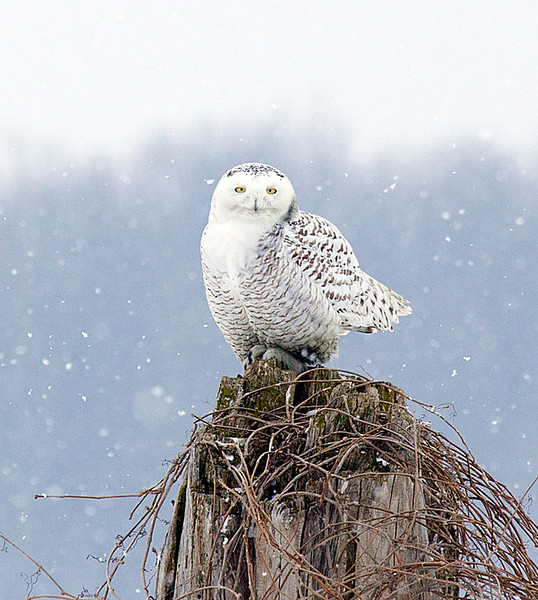 Snowy Owl Perched Snowing