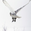 Snowy Owl Hovering