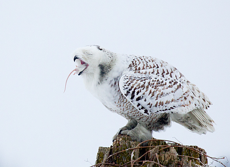 Snowy Owl Swallowing Prey