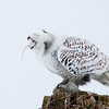 Snowy Owl Swallowing Prey