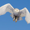 Snowy Owl Hovering 9