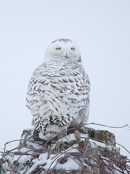 Snowy Owl Perched 5